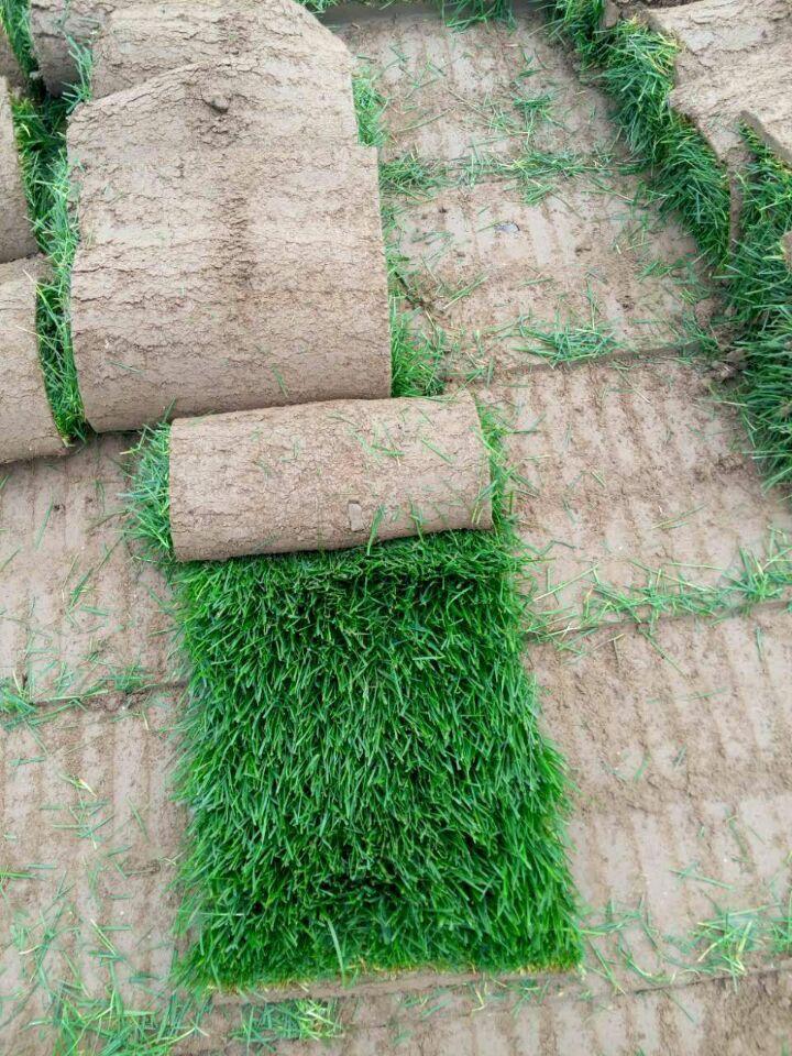 早熟禾草坪批发价格