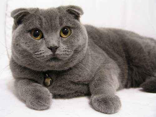 [供应]纯种英短蓝猫/英短白猫/寄养英短