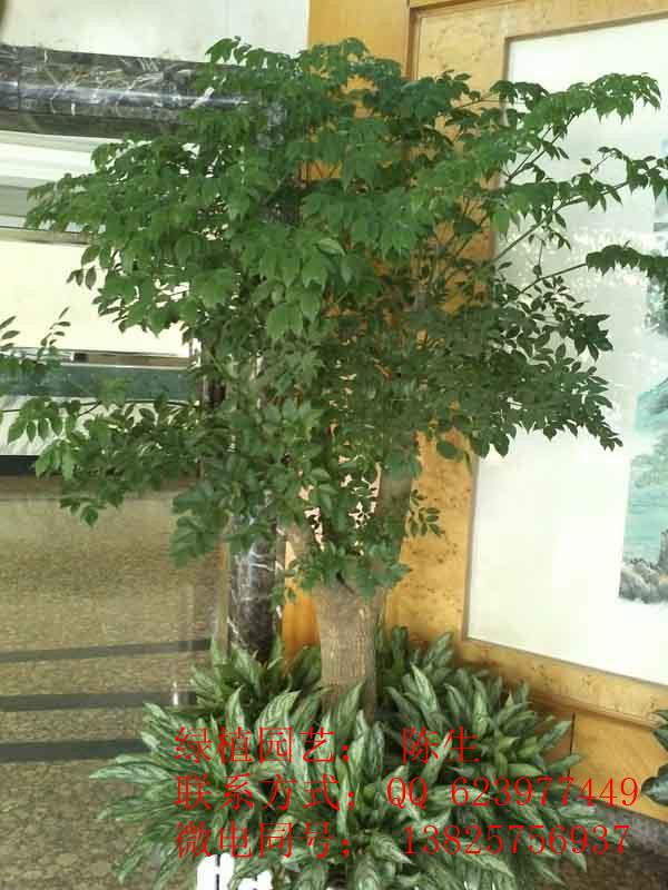 供应东莞花卉租赁 富贵树 东莞富贵树 幸福树高清图片 高清大图