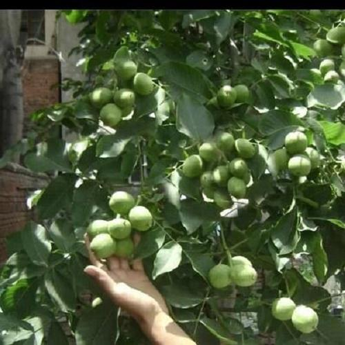 2,核桃树的管理      1 施肥 栽植后一般不要施肥,待核桃苗萌芽