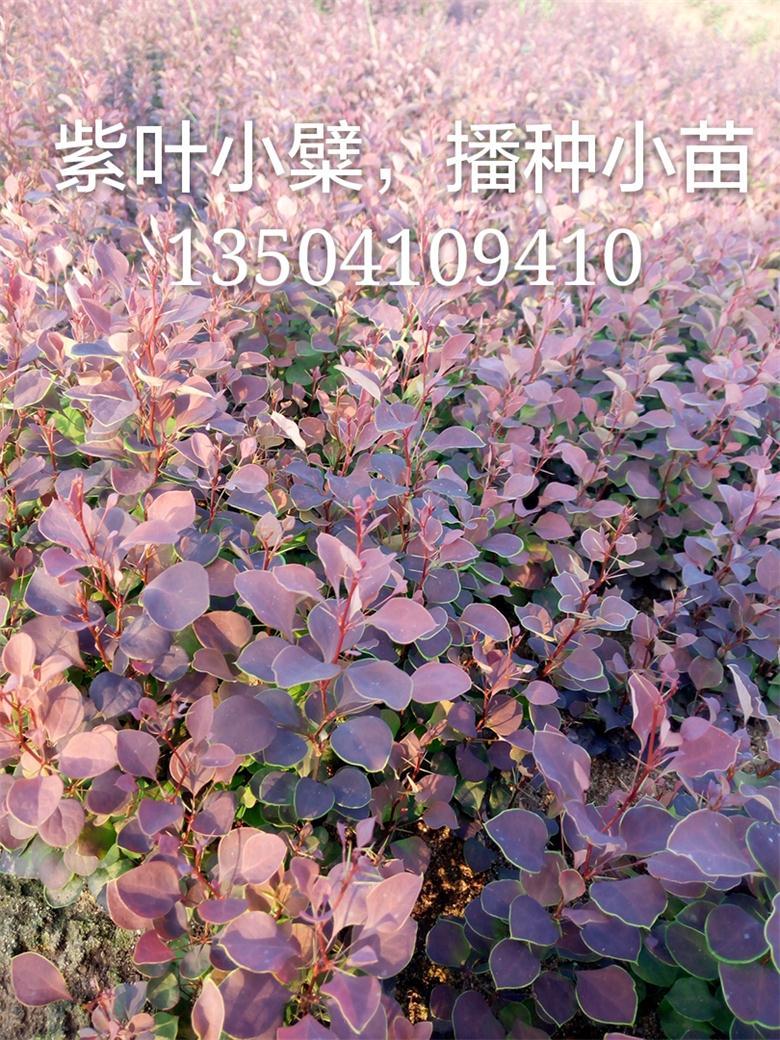 紫叶小檗播种小苗